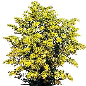 Solidago Flowers Yellow
