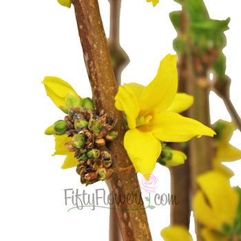 Yellow Forsythia Blooming Branches