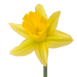 Daffodil Yellow Bulk Flower Wholesale