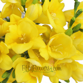 Yellow Freesia Flower