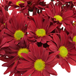 Fall Red Daisy Flower