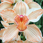 Sherbert Orange Cymbidium Orchid Dyed