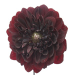 Dahlia Flower Burgundy Chocolate