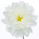 Dahlia Flower Snow White