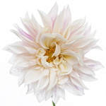 Dinner Plate Dahlia Flower Creamy White