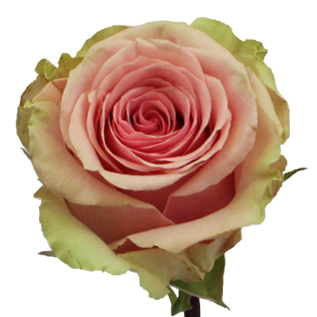 Geraldine Light Pink Rose