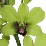 Green Geisha Loose Orchid Blooms