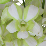 White and Green Striped Loose Orchid Blooms