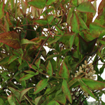 Nandina Fall Fresh Cut Branches with Berries