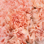 Hint of Peach Carnation Flowers