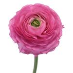 Hot Pink Italian Cloony Ranunculus
