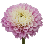 Spotlight Blush Dahlia Flower