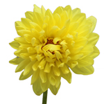Yellow Wholesale Dahlias